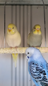 Baby Budgies $15each or Buy 4 or more $12.50 each Werribee Wyndham Area Preview