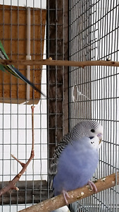 Two purple baby budgies for sale Coolbellup Cockburn Area Preview