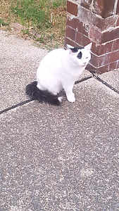 Free male Cat to a good home Croydon Burwood Area Preview