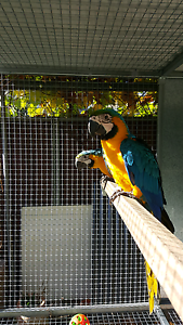 Quick sale Macaw pair Liverpool Liverpool Area Preview