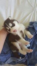 Husky puppies Forest Lake Brisbane South West Preview