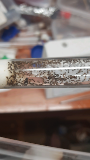 Phedolie (big head ant) colony (queen ant)