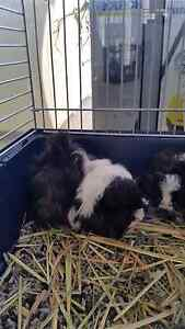 Long hair guinea pigs  2 ×males Balga Stirling Area Preview