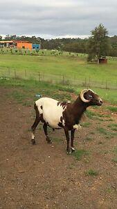 Damara Sheep Maroota The Hills District Preview
