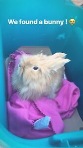 FOUND - tan lionhead bunny - need supplies!