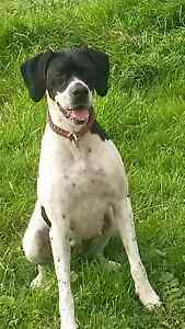 English pointer female purebred Mayanup Boyup Brook Area Preview
