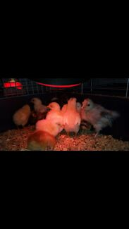 chicks chickens Bindoon Chittering Area Preview