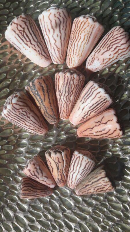 50 % sale! 4 Conus Princeps Seashell (Rare collectible) hand collected in Mexico