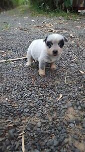 Australian Cattle Dog Blue Heeler Pups Pure Bred with Papers Moorland Bundaberg Surrounds Preview