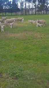 Starter flock, 52 ewes, 56 lambs, 3 ewes still to lamb Meredith Golden Plains Preview