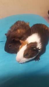 2 very cute female guinea pigs looking for a good home Doubleview Stirling Area Preview