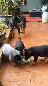 Pups for sale Toowoomba Toowoomba City Preview