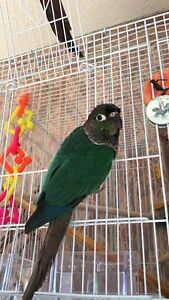 Cupid-Male Turquoise Green Cheek Conure