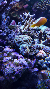 Green Blasto coral Beechboro Swan Area Preview