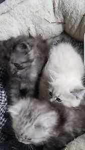 persian kittens 400 00 beautiful fluffy ragdoll cross persian ...