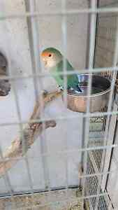 Love bird only one Kelmscott Armadale Area Preview