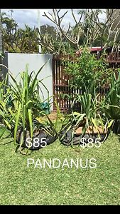 PANDANUS PALMS $75, $85, $450, CYCADS ('Sago') $25, $75. OTHER PLANTS Mooloolaba Maroochydore Area Preview
