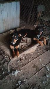 2 beautiful,excellent natured female black and tan pups for sale Albury Albury Area Preview