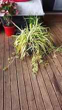 Spider plant for sale Pagewood Botany Bay Area Preview