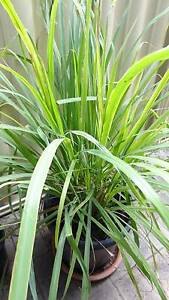 Potted established 1.3m tall Lemon Grass plants *Very Healthy* Shelley Canning Area Preview