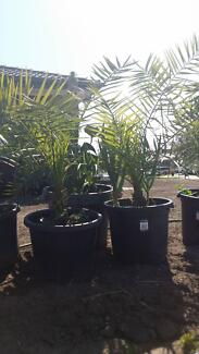 Date Palm Tree Cranbourne West Casey Area Preview