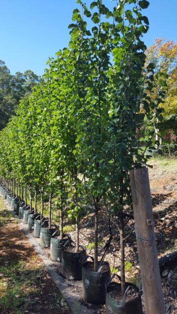Ornamental Pear Trees 3m Tall 100l Bags Plants