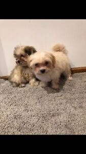 Maltese shitzu puppy's vaccines and microchips male and female price