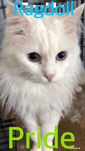 Retired ragdoll for rehoming