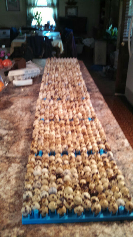 100 + extras fresh jumbo brown coturnix  quail eggs for hatching. Huge sale!