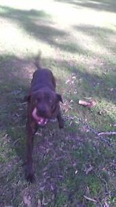 Bull Arab X Irish wolfhound Selling for $300 Tamborine Mountain Ipswich South Preview