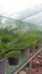 CYCADS PLANTS Thagoona Ipswich City Preview