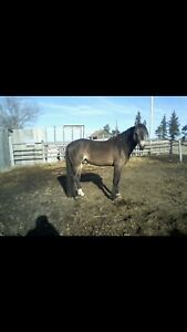 2 horses, saddle and various tack for sale