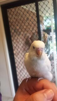 Handraised baby budgie Upper Coomera Gold Coast North Preview