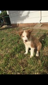 Pure bred border collie puppy