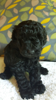 Purebred toy poodle