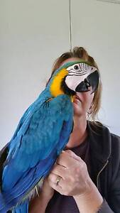 BLUE AND GOLD MACAW, HANDRAISED PARROT BABY FOR PET BIRD Sydney City Inner Sydney Preview