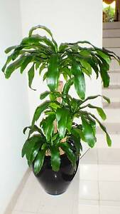 Dracaena Massengina / Happy Plant / Chinese Money Tree St Clair Penrith Area Preview