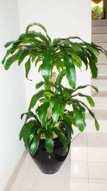 Dracaena Massengina Happy Plant Chinese Money Tree