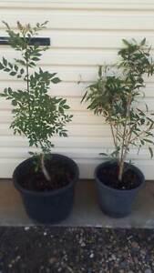 Trees 50cm tall Ash Banksia 2 gums 1m