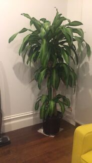 Tall indoor plant