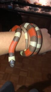 Milk Snake | Kijiji - Buy, Sell & Save with Canada's #1 Local