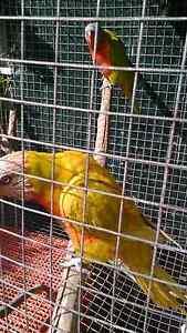 Mutation Rainbow Lorikeet Breeding Pair Carindale Brisbane South East Preview