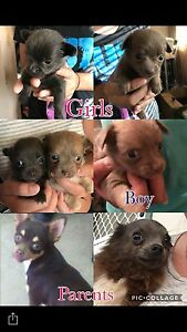 Chihuahua baby's Narromine Narromine Area Preview