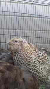 10 mature Jap Quails Mount Nasura Armadale Area Preview