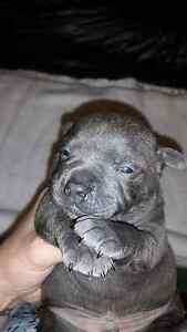 Staffy (English) pups purebred with papers Silver Sands Mandurah Area Preview