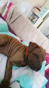 9 week old Sharpei x staffy Kedron Brisbane North East Preview