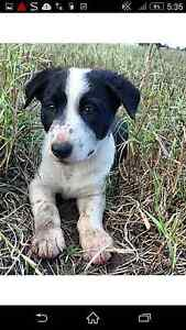 3 male Border collie Blackwater Central Highlands Preview