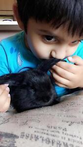 Baby bunnies cuties Bankstown Bankstown Area Preview