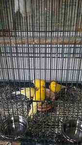 Canaries and goldfinch with cage Riverwood Canterbury Area Preview