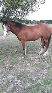 Clydie x 2y/o filly Enfield Golden Plains Preview